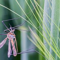 A mosquito (illustrative photo credit: CC-BY 2.0 hofluk, Flickr)