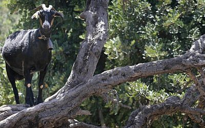 A goat considering a carob tree snack (photo credit: Nati Shohat/Flash 90)