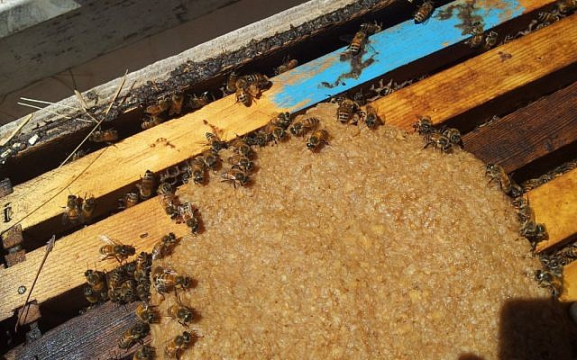 Bees feeding on protein patties (Courtesy Black Bear Honey/photo credit: Stephen Epstein)