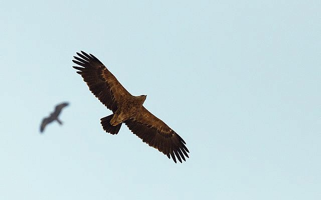An eagle flying over southern Israel (photo credit: Yoav Perlman/Israel Ornithological Center, Society for the Protection of Nature in Israel)