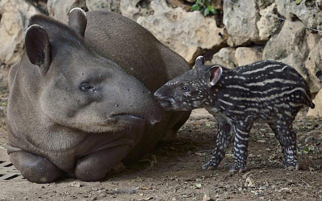 A new South American tapir born at the Ramat Gan Safari on October 07, 2012. (photo credit: Tibor Jager/Ramat Gan Safari/FLASH90)