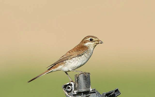 The red-backed shrike, spending some time in Israel during migration (photo credit: Yoav Perlman/Israel Ornithological Center, Society for the Protection of Nature in Israel)