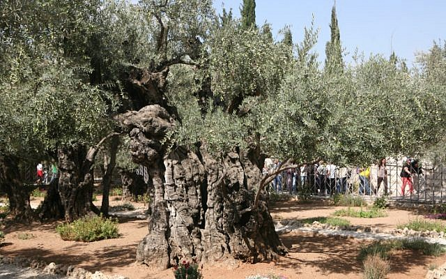 Ancient olive trees in the Garden of Gethsemane, in Jerusalem (photo credit: Yossi Zamir/Flash 90)