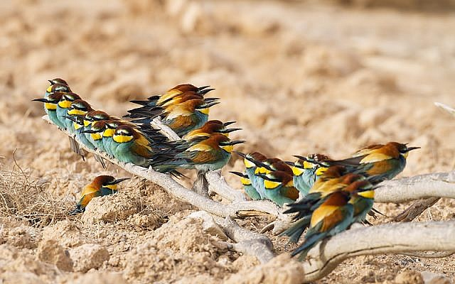 Or sometimes you catch some Bee-eaters perching during the day (photo credit: Yoav Perlman/Israel Ornithological Center, Society for the Protection of Nature in Israel)