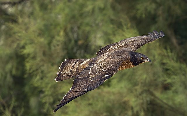 The honey buzzard, also making its Israel appearance (photo credit: Yoav Perlman, Israel Ornithological Center, Society for the Protection of Nature in Israel)