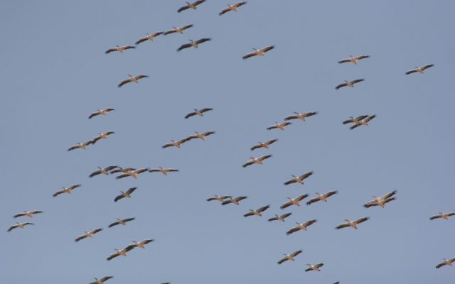 A flock of about 4,000 pelicans that were seen flying over Highway 6 with some stragglers spending time at Tel Aviv's Yarkon Park (Courtesy Israel Ornithological Center)