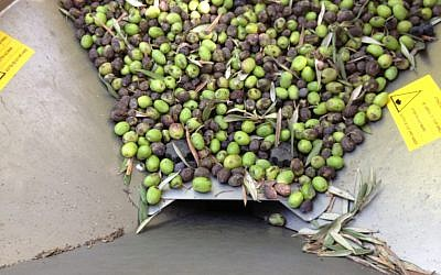 Olives being readied for the press at Aladdin Organic Farm (photo credit: Jessica Steinberg/Times of Israel)