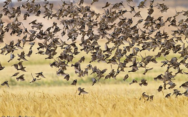 A flock of Spanish sparrows (photo credit: The honey buzzard, also making its Israel appearance (photo credit: Yoav Perlman/Israel Ornithological Center, Society for the Protection of Nature in Israel)