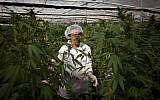 An Israeli woman works at the Tikkun Olam medical cannabis farm. (photo credit: AP)
