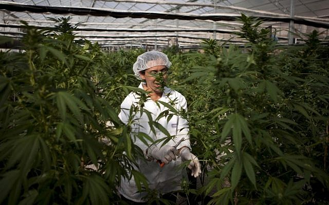 An Israeli woman works at the Tikkun Olam medical cannabis farm. (photo credit: AP)