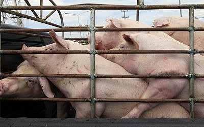Illustrative image: Caged pigs in Israel. (Nati Shohat/Flash90)