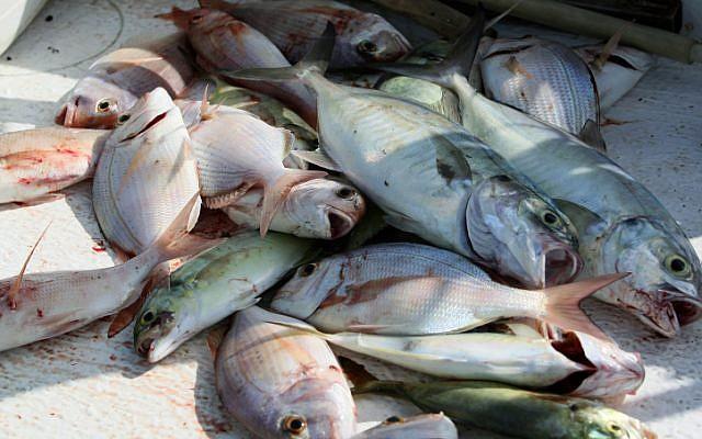 Fish in a fishing boat (photo credit: Moshe Shai/Flash90)