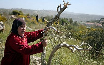 A Palestinian woman grasps an olive tree that was damaged in a 'Price Tag' attack in April 2012 (photo credit: Issam Rimawi/Flash90)