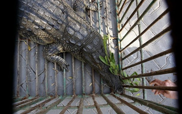 Sakher, a crocodile captured and named by Palestinian police after it lived in a sewage pond since fleeing the zoo in Beit Lahia, northern Gaza Strip two years ago, is seen through cage bars, Tuesday, Nov. 6 (photo credit: AP/Hatem Moussa)