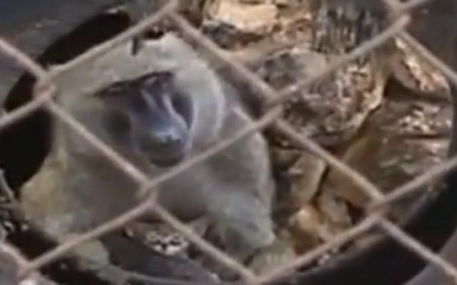 Kibbutz Ein Harod's improbable baboon and kitten (photo credit: RT Screen Shot)