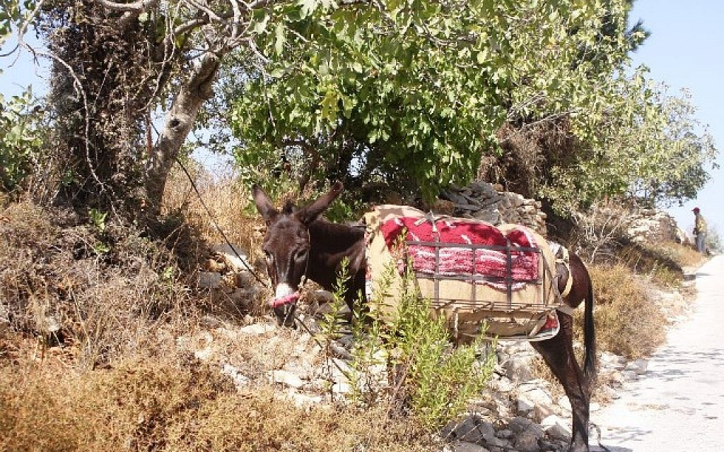 A donkey wanders along Patriarch's Way (photo credit: Shmuel Bar-Am)