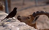An ibex chats up a Tristram's grackle at the Ein Gedi nature reserve .(Shmuel Bar-Am)