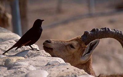 Fast friends: An ibex chats up one of Tristram's grackles on the Ein Gedi rocks (photo credit: Shmuel Bar-Am)