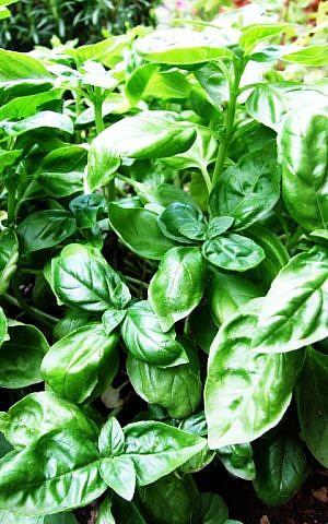 Basil plants (photo credit: Wikipedia Commons, Castielli)