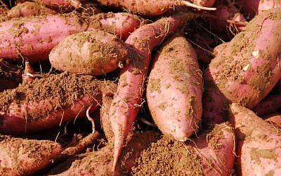 Sweet potatoes in the soil (photo credit: Gili Yaari/Flash 90)