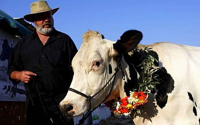 Miriam, the winning cow at the Israel Cattle Growers' Association, chosen for her structure, beauty and brisket (photo credit: Edi Israel/Flash 90)