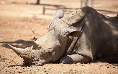 A rhinoceros at the Ramat Gan Safari, July 2012. (photo credit: Uri Lenz/Flash90)