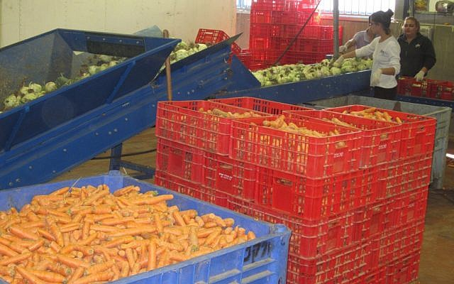 Volunteers sort produce at the warehouse of Leket Israel, the country's largest food-rescue organization. (Ben Sales/JTA)