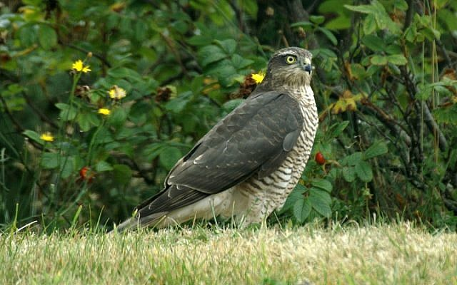 Illustrative photo of a sparrowhawk (Accipiter nisus) (photo credit: CC BY-SA-3.0, by Ken Billingham, Wikimedia Commons)