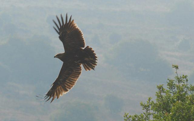 A hawk flies over the Golan Heights. May 3, 2010. (photo credit: Hamad Almakt/Flash90)