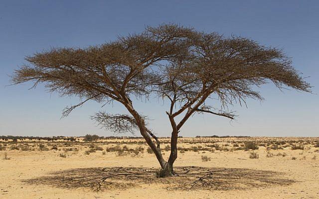 An acacia tree in the Negev Desert (photo credit: Nati Shohat/Flash 90)