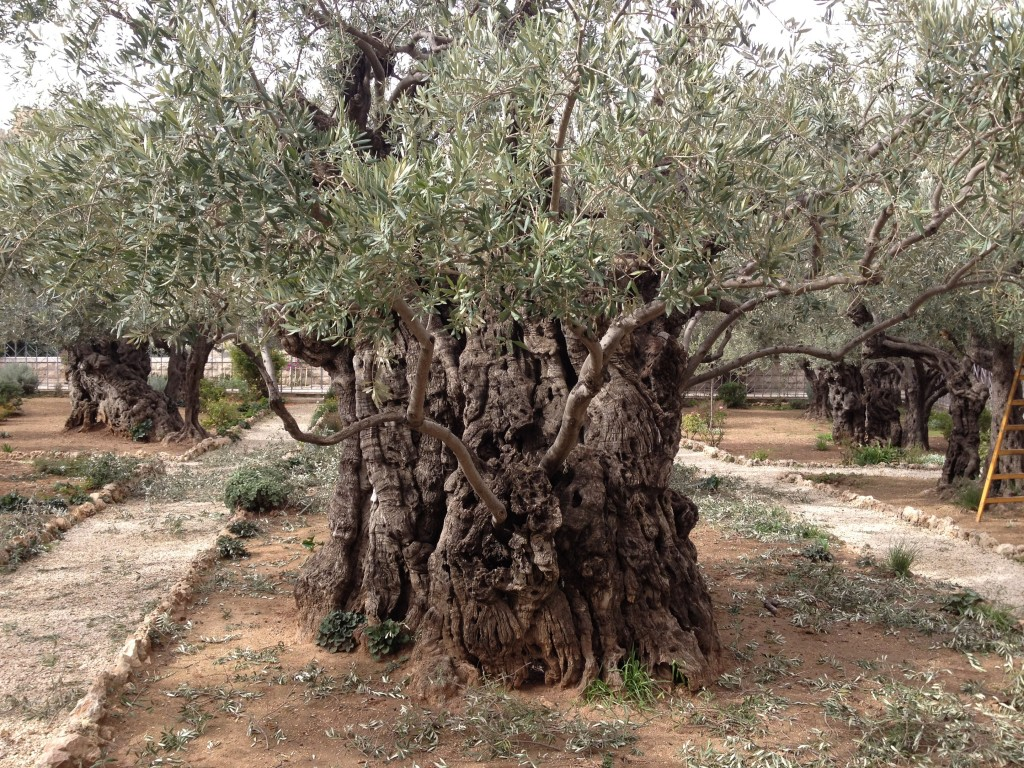 Barking up the right trees the times of israel for Age olive trees garden gethsemane
