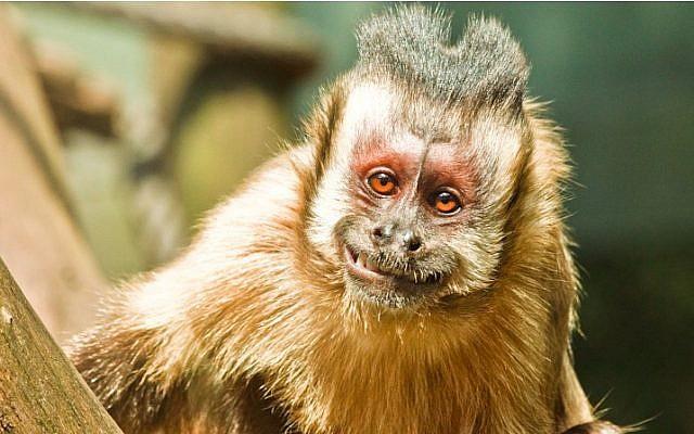 A happy monkey. (Illustrative photo credit: CC BY oandresilva, Flickr)