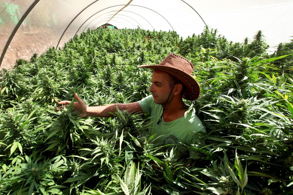 A worker tends to cannabis plants at the Tikun Olam growing facility near Safed (photo credit: Abir Sultan/Flash 90)