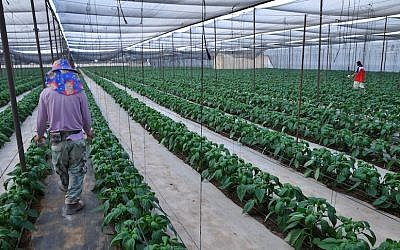 A greenhouse growing organic peppers in Faran in the Arava desert (photo credit: Shay Levy/Flash90)