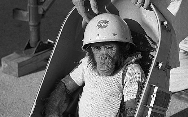 "Chimpanzee ""ham"" in space suit is fitted into the biopack couch of the Mercury-Redstone 2 capsule #5 prior to its test flight, which was conducted on January 31, 1961 (photo credit: NASA/Wikimedia Commons)"