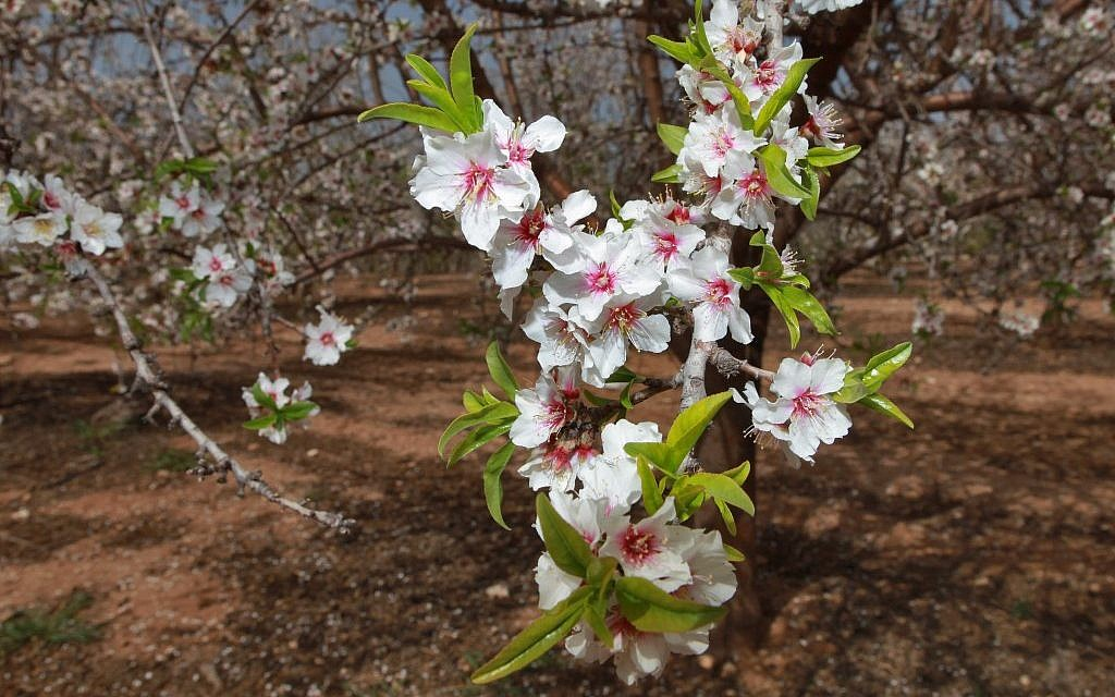 The almond tree is blooming, especially on Tu Bishvat (photo credit: Nati Shohat/Flash90)