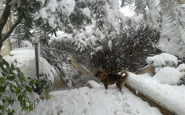 A dog is nonplussed by the white stuff in Har Adar in the hills west of Jerusalem. (photo credit: Linda Amar/ Times of Israel staff)