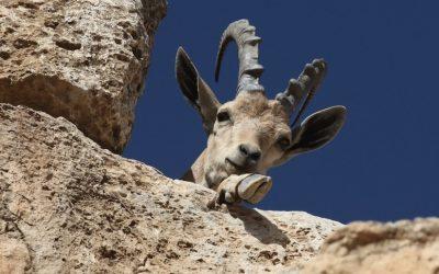 Illustrative: A Nubian Ibex seen on the cliffs of Makhtesh Ramon (Ramon crater). (Photo credit: Yossi Zamir/Flash 90)