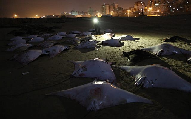 Hundreds of devil rays lined up on the Gaza beach on February 27, 2013. (photo credit: Wissam Nassar/Flash90)