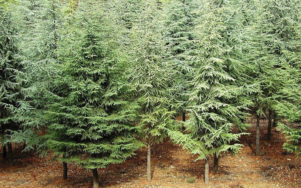 Cedars at Biriya (photo credit: Shmuel Bar-Am)