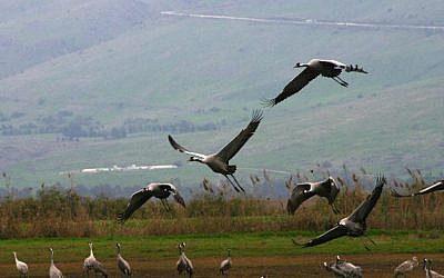 Cranes and Pelicans, Huleh Agamon (photo credit: Shmuel Bar-Am)