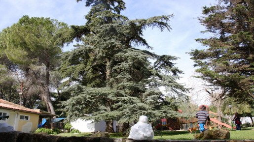 Ma'ale HaHamisha Cedar of Lebanon (photo credit: Shmuel Bar-Am)
