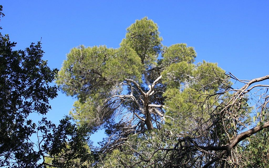 Jerusalem pine tree, Masrek (photo credit: Shmuel Bar-Am)