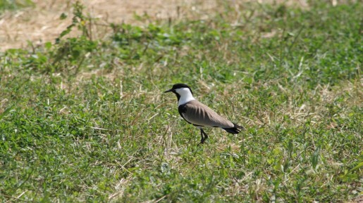 Plover, Huleh Agamon (photo credit: Shmuel Bar-Am)