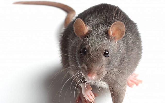 (illustrative rat image via Shutterstock)
