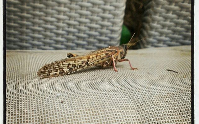 A locust lands in Modi'in in central Israel on Saturday. (photo credit: Tom Einhorn, Twitter)
