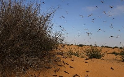 A cloud of locusts in southern Israel Wednesday (photo credit: Dror Garti/Flash90)