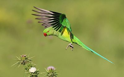 A ring-necked parakeet in Israel (photo credit: Doron Hoffman, Society for the Protection of Nature in Israel)