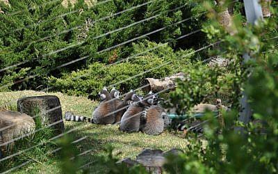 Lemurs at the Haifa zoo. (photo credit: CC BY-SA dibau_naum_h, Flickr)