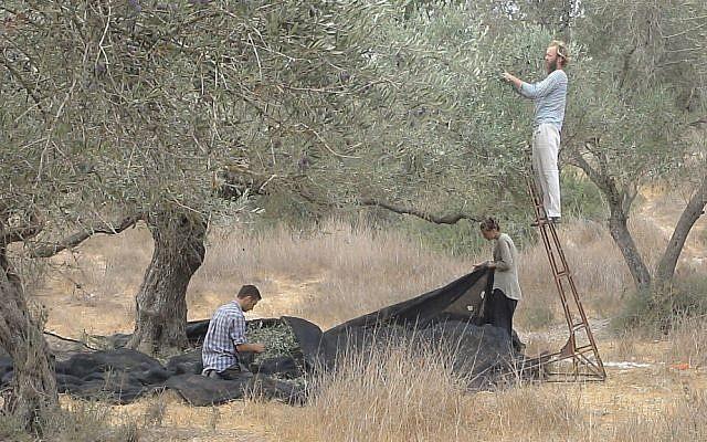 The olive harvest (photo credit: Arieh O'Sullivan)